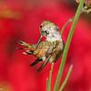 An Allen's Hummingbird grooming