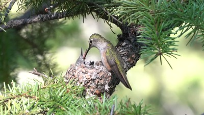 Broad-tailed Hummingbird Feeds Chick in Morning Light