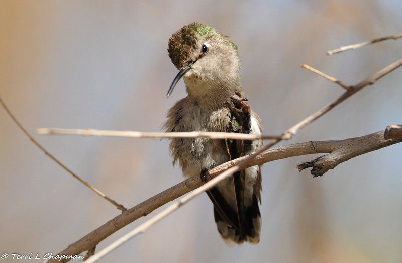Costa's Hummingbird (female) scratching