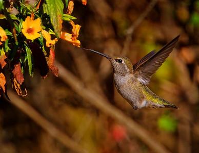 Anna's Hummingbird at orange flowers