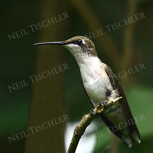 #1020  A Ruby throated hummingbird, juvenile male