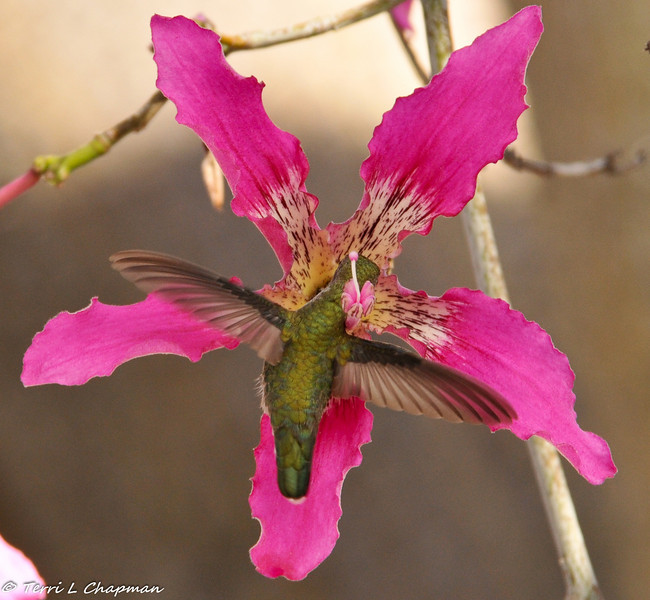 An Anna's Hummingbird sipping nectar from a Silk Floss bloom