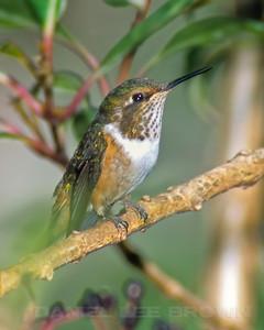 Scintillant Hummingbird, Costa Rica, 2-2006. Cropped image.