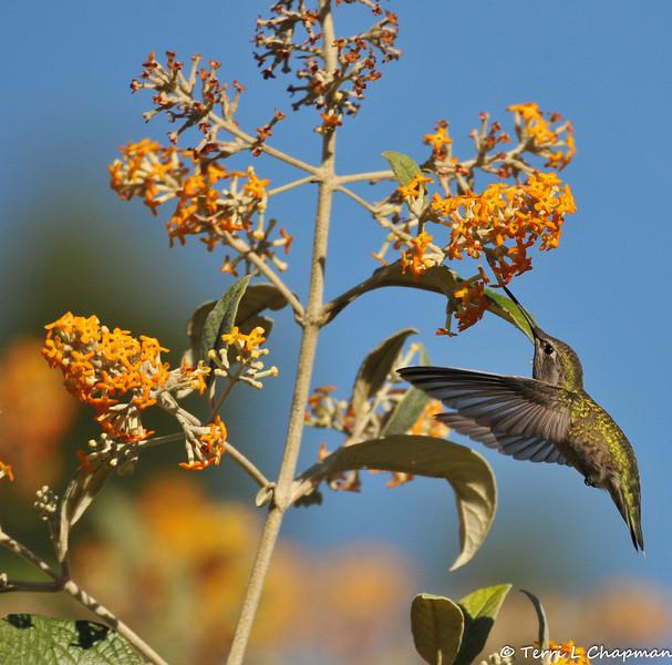 A female Anna's Hummingbird drinking nectar from a Butterfly bush