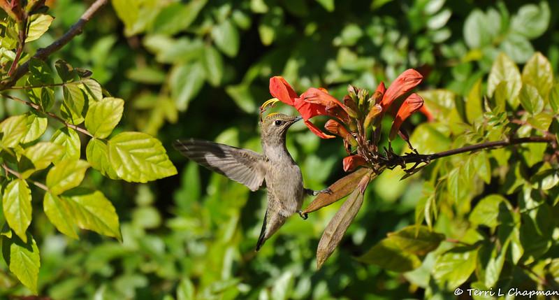 A female Anna's Hummingbird