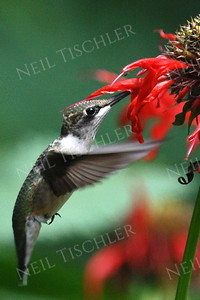 #1041  A ruby throated hummingbird sipping from beebalm