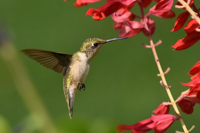 #1605  Ruby throated hummingbird,  juvenile male feeding on a Brazilian Salvia (that I planted as an annual )