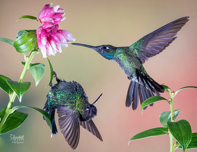 Fiery-throated and Rivoli's hummingbirds squabbling for the same flower