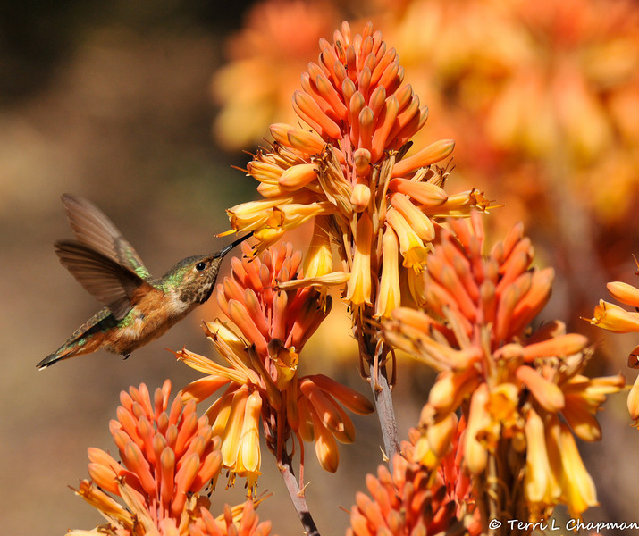 A male Allen's Hummingbird drinking nectar from a Red Hot Poker plant