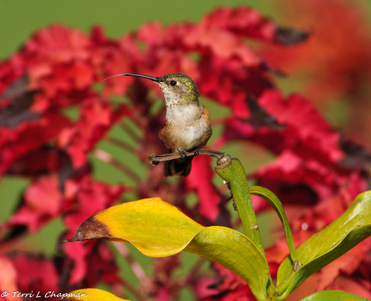 An Allen's Hummingbird flicking her tongue