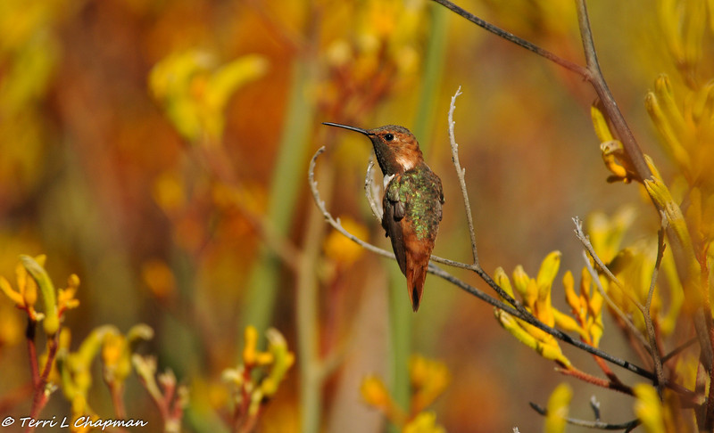 A male Allen's Hummingbird guarding his Kangaroo Paws