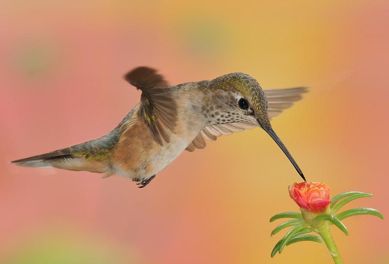 famale Rufous Hummingbird at Ramsey Canyon Inn,Ramsey Canyon,AZ