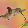 famale Rufous Hummingbird at Ramsey Canyon Inn,Ramsey Canyon,AZ