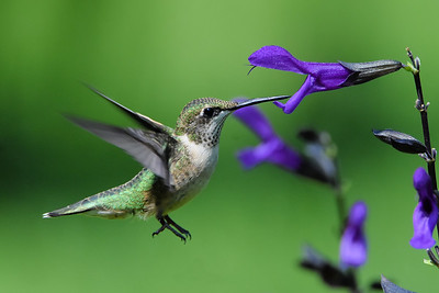 #1561   Ruby-throated Hummingbird, juvenile male feeding at Blue-Black Salvia blossoms