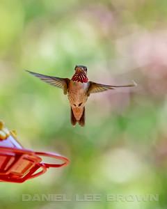 CALLIOPE HUMMINGBIRD, male