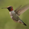 Anna's Hummingbird captured at Beatty's Guest Ranch,Miller Canyon,AZ.