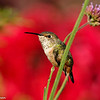 Allen's Hummingbird perched on the stem of a Bachelor Button flower