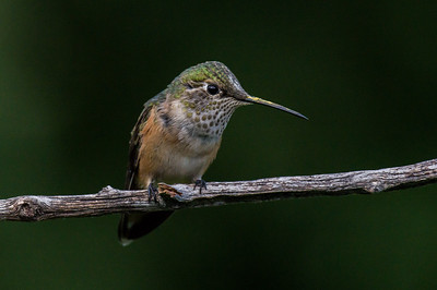 Rufous Hummingbird - female (Selasphorous rufus)