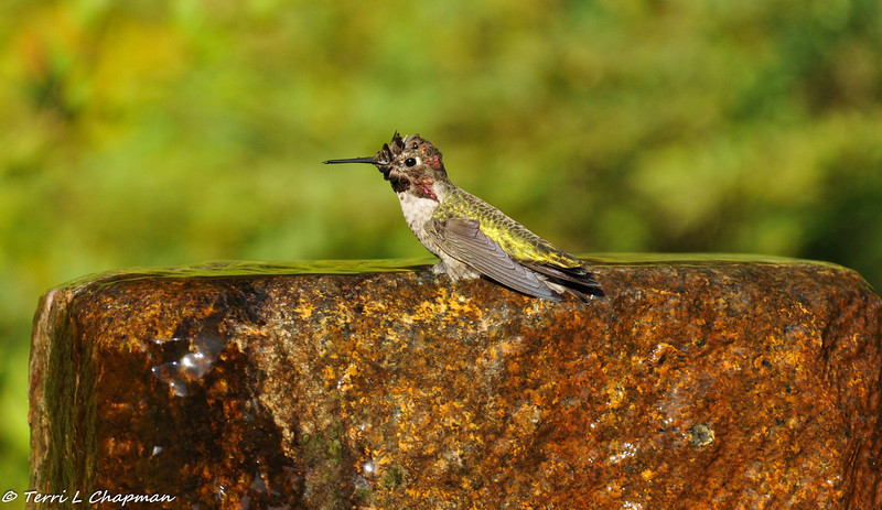 A male Anna's Hummingbird taking a bath in a fountain