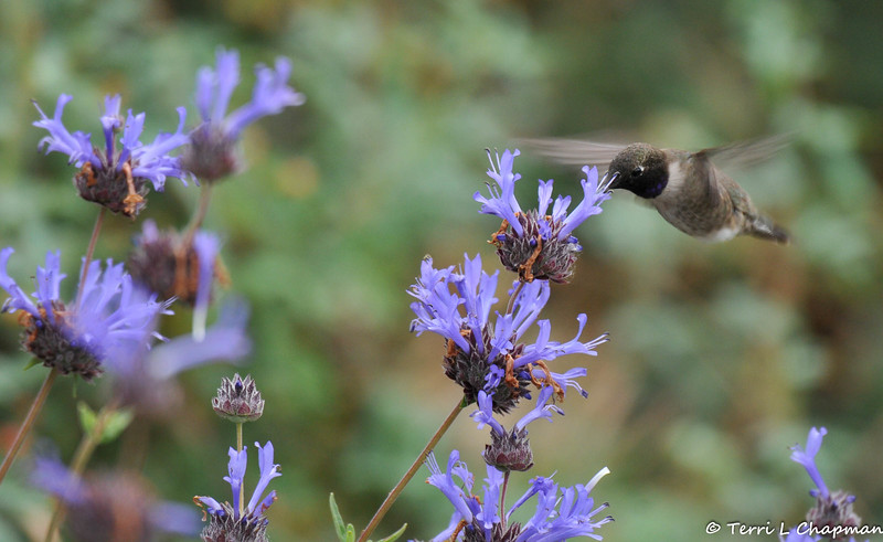 A Black-chinned Hummingbird sipping nectar from a Sandhill sage bloom