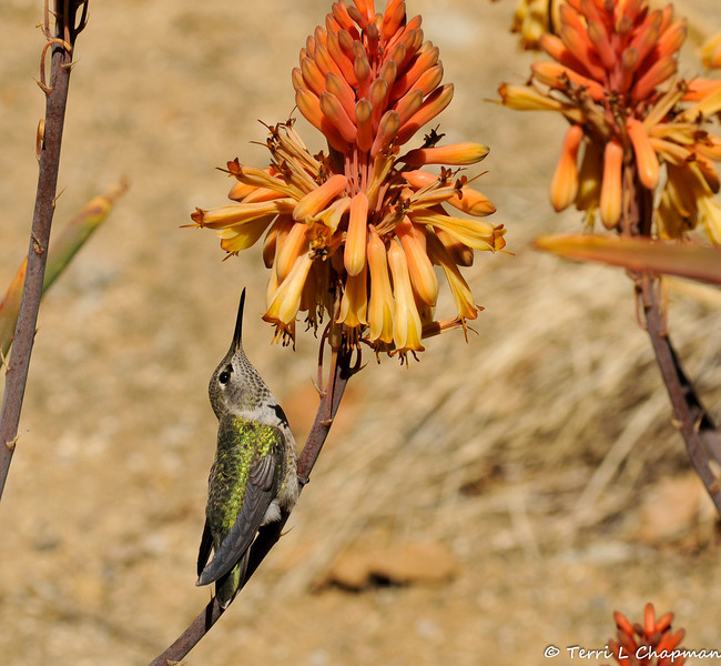 An Anna's Hummingbird perched on the stem of a Red Hot Poker plant