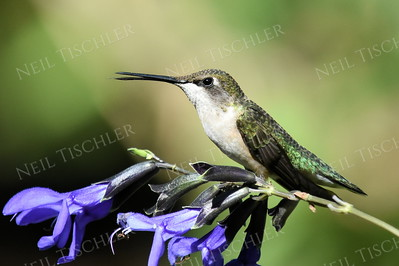#1209  Ruby throated hummingbird, juvenile male sits atop a black-blue salvia.
