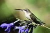 #1209  Ruby throated hummingbird, juvenile male sits atop a black-blue salvia.