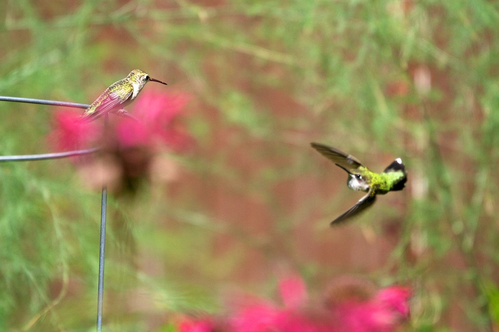 Battling Hummingbirds<br /> Copyright 2007, Tom Farmer