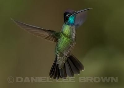 MAGNIFICENT HUMMINGBIRD, male