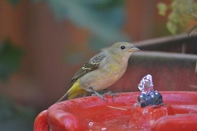 Lesser Goldfinch f