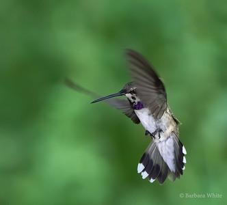 Black Chinned Hummingbird Male
