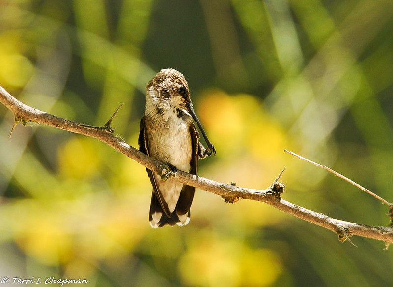 Black-chinned Hummingbird (juvenile male) grooming his bill