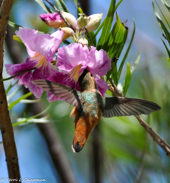 An Allen's Hummingbird sipping nectar from a Desert Willow bloom