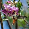 An Allen's Hummingbird sipping nectar from a Desert Willow bloom