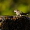 Anna's Hummingbird taking a bath in a fountain