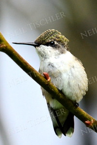 #1087  Ruby throated hummingbird, juvenile male