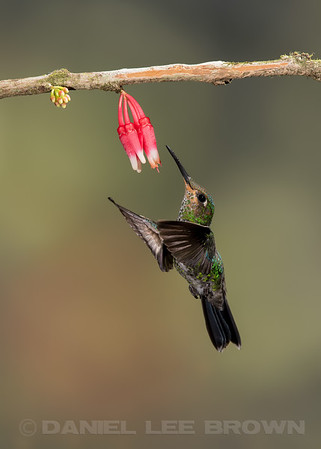 GREEN-CROWNED BRILLIANT, juvenile male