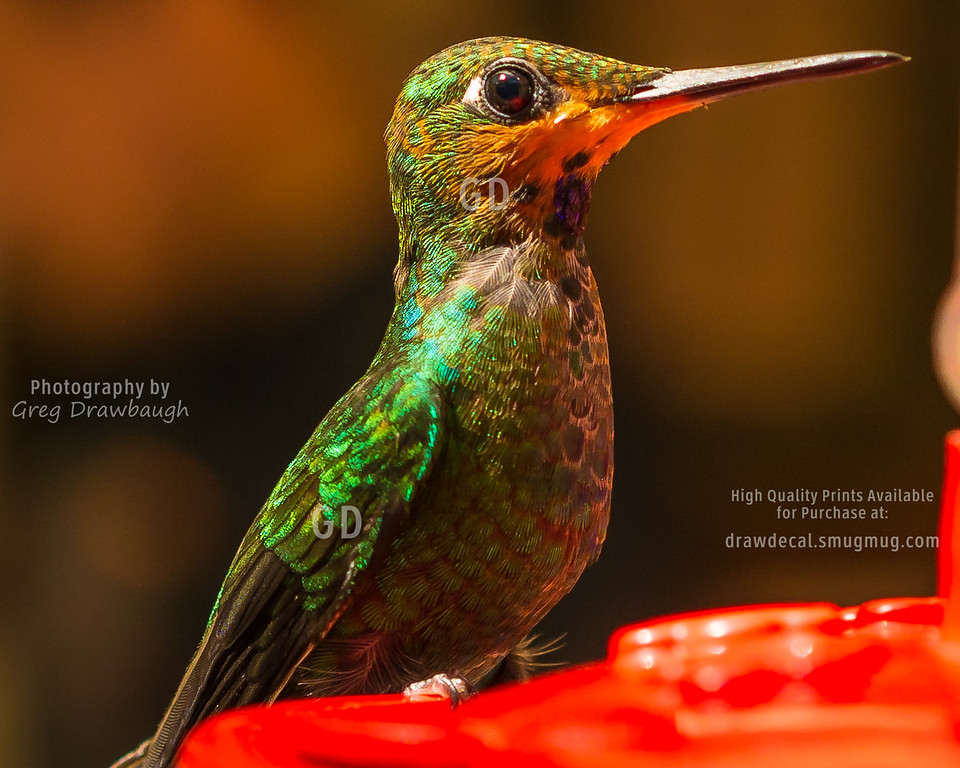Green Crowned Brilliant Humming Bird