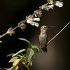 A female Allen's Hummingbird with her eyes closed