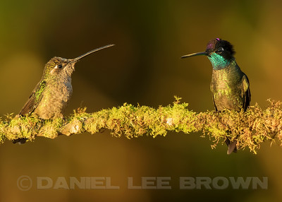 MAGNIFICENT HUMMINGBIRDS, male on the left