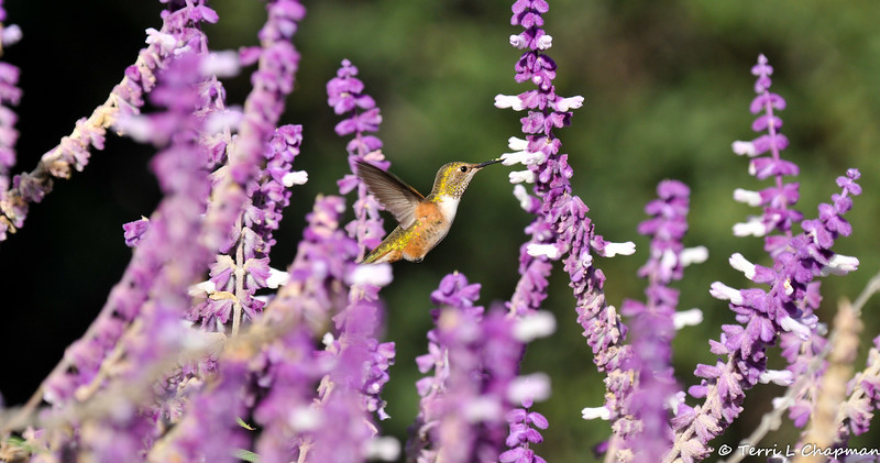 A female Allen's Hummingbird sipping nectar from a Sage bloom
