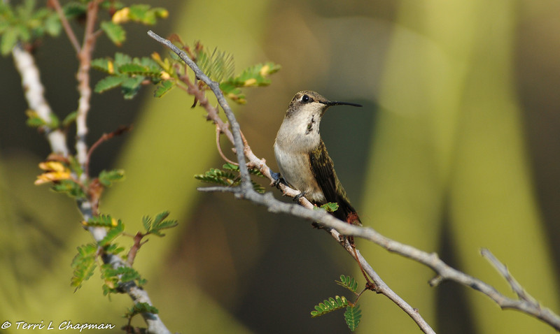 A Black-chinned Hummingbird