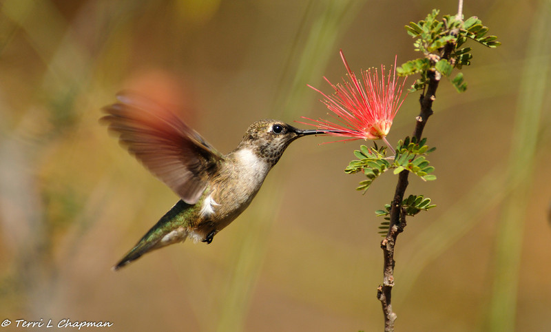 A Black-chinned Hummingbird sipping nectar from a Baja Fairyduster bloom