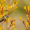 Allen's Hummingbird drinking nectar from a Kangaroo Paw