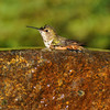 Allen's Hummingbird taking a bath in a fountain