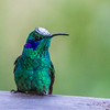 Green Violetear - he stuck his head in some white flower pollen :-)