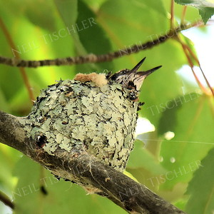1414  Ruby Throated Hummingbird nestlings