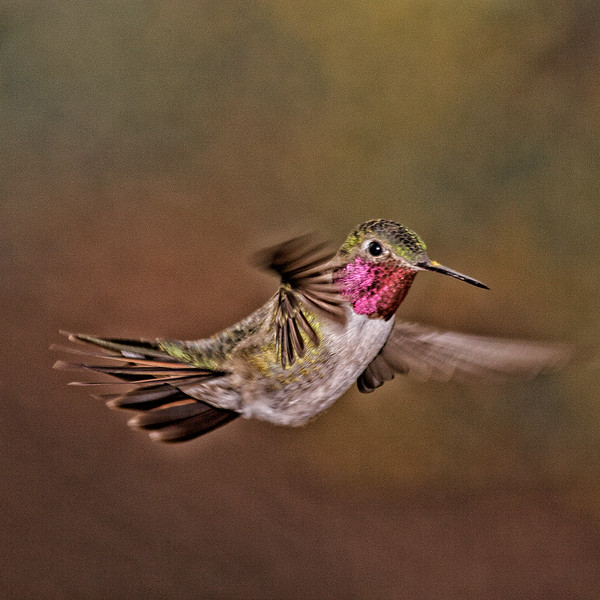 Hummingbird in mid-flight