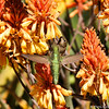 Two Anna's Hummingbirds drinking nectar from a Red Hot Poker plant