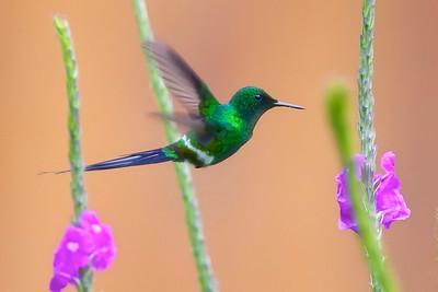 Thorn-tail Hummingbird, Costa Rica